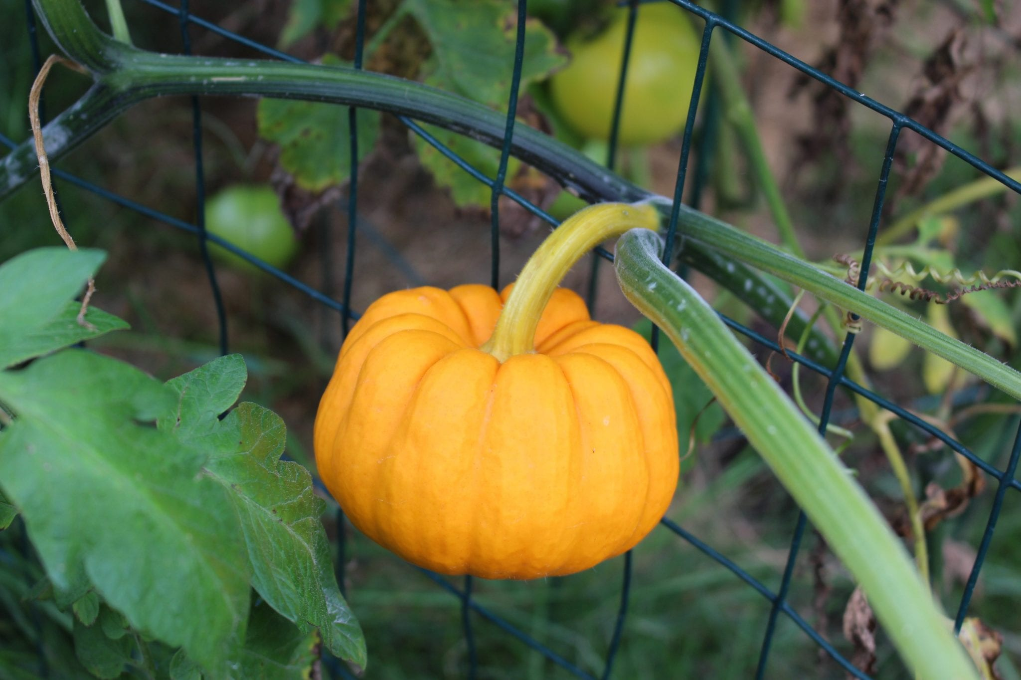 Jack be Little Pumpkins | Start your Garden Plan | Good Life of a Housewife