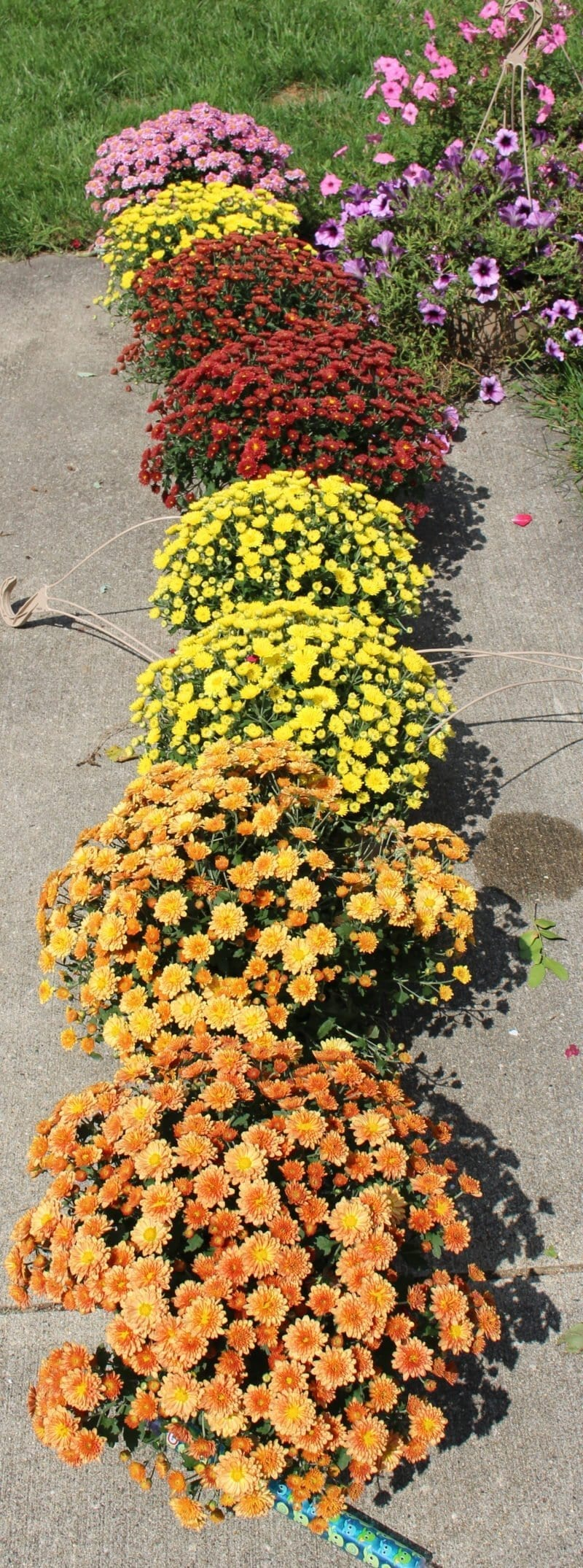 Time to replace the old hanging baskets with some fall mums.